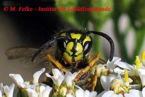 Lebensdauer Wespe